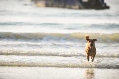 Cão que corre na praia Imagem de Stock Royalty Free