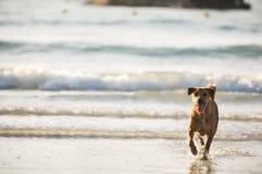 Cão que corre na praia Fotografia de Stock Royalty Free