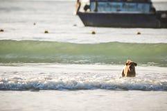 Cão que corre na praia Foto de Stock