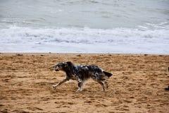 Cão que corre na praia de Dorset Fotos de Stock