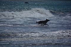 Cão que corre na praia em Califórnia Foto de Stock Royalty Free