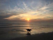 Cão que corre na praia no por do sol Imagens de Stock Royalty Free