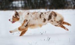 Cão que corre no parque coberto de neve Foto de Stock