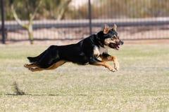 Cão que corre no parque no meio do ar Fotografia de Stock