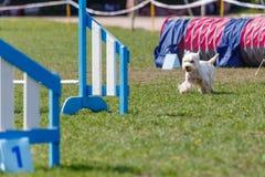 Cão que corre para o obstáculo na competição da agilidade imagens de stock