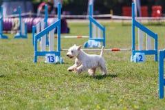 Cão que corre para o obstáculo na competição da agilidade imagem de stock royalty free