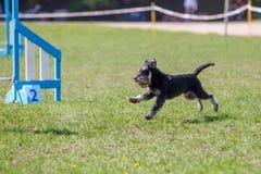 Cão que corre para o obstáculo na competição da agilidade foto de stock