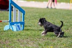 Cão que corre para o obstáculo na competição da agilidade fotografia de stock royalty free