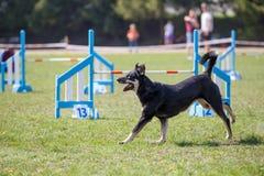 Cão que corre para o obstáculo na competição da agilidade imagens de stock royalty free