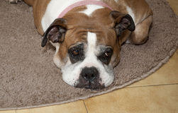 Cão que derrete no tapete Imagem de Stock Royalty Free