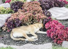 Cão que dorme em flores Imagem de Stock Royalty Free