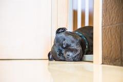 Cão que dorme em uma entrada fotografia de stock