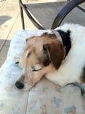 Cão que dorme fora durante o BBQ Imagens de Stock