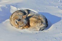 Cão que dorme na neve Imagem de Stock