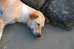 Cão que dorme na praia Fotos de Stock Royalty Free