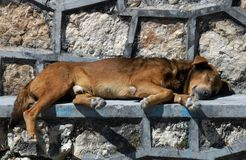 Cão que dorme na rua Fotos de Stock Royalty Free