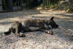 Cão que dorme no assoalho Foto de Stock Royalty Free