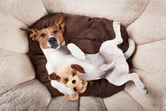 Cão que dorme ou que descansa Imagem de Stock Royalty Free
