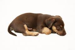 Cão que encontra-se em um fundo branco Foto de Stock Royalty Free