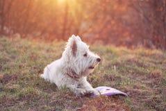 Cão que encontra-se na grama Foto de Stock