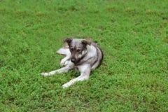 Cão que encontra-se na grama Fotos de Stock Royalty Free