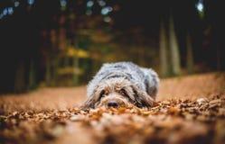 Cão que encontra-se na terra na floresta nas folhas desvanecidas outonais Fio boêmio Griffon apontando de cabelo foto de stock royalty free
