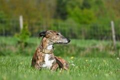 Cão que encontra-se no prado Fotografia de Stock Royalty Free