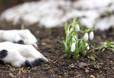 Cão que encontra-se perto dos primeiros snowdrops Foto de Stock Royalty Free