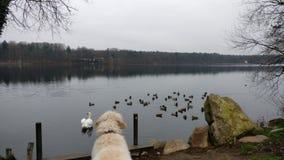 Cão que enfrenta patos Foto de Stock Royalty Free