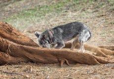 Cão que escava perto das raizes da árvore Fotos de Stock Royalty Free