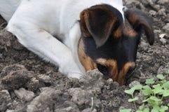 Cão que escava um furo imagens de stock royalty free