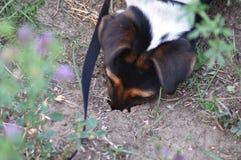 Cão que escava um furo fotografia de stock
