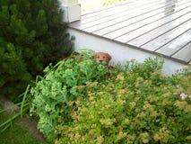 Cão que esconde atrás de um arbusto Fotos de Stock Royalty Free