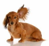 Cão que escuta com orelha acima Imagens de Stock Royalty Free