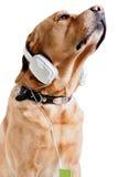 Cão que escuta a música Fotografia de Stock