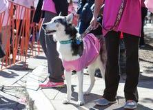 Cão que espera para andar o 5k Fotografia de Stock Royalty Free