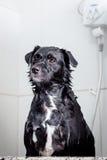 Cão que espera para ser enxaguado Imagens de Stock Royalty Free