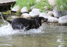 Cão que espirra através da água Imagens de Stock Royalty Free