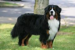 Cão que está de vista para a frente Fotos de Stock