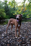 Cão que está em rochas pelo lago Foto de Stock