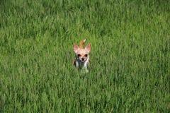 Cão que está em uma grama Imagens de Stock