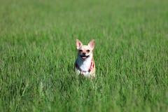 Cão que está em uma grama Imagem de Stock