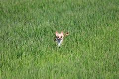 Cão que está em uma grama Foto de Stock Royalty Free