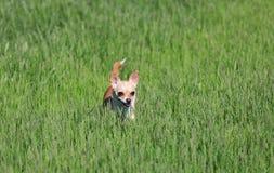 Cão que está em uma grama Fotos de Stock