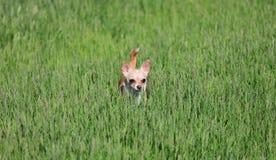 Cão que está em uma grama Imagens de Stock Royalty Free