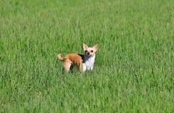 Cão que está em uma grama Fotografia de Stock Royalty Free