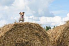 Cão que está na pilha do feno no campo de exploração agrícola fotos de stock royalty free