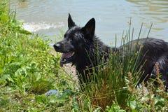 Cão que está pela lagoa Foto de Stock