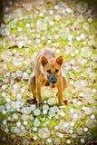Cão que faz suas abluções no final do parque Imagens de Stock