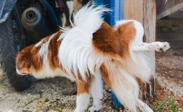 Cão que faz xixi Imagem de Stock
